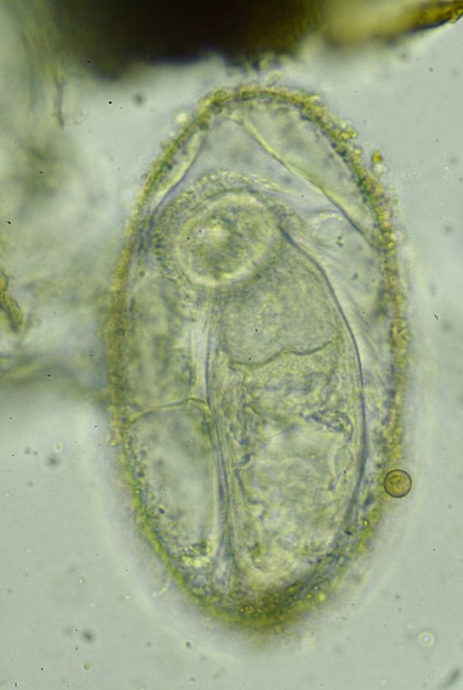 Paramphistomes-jour-31.jpg
