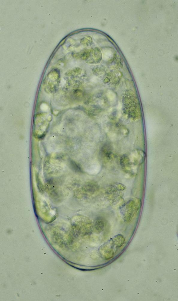 Paramphistome-jour-1.jpg