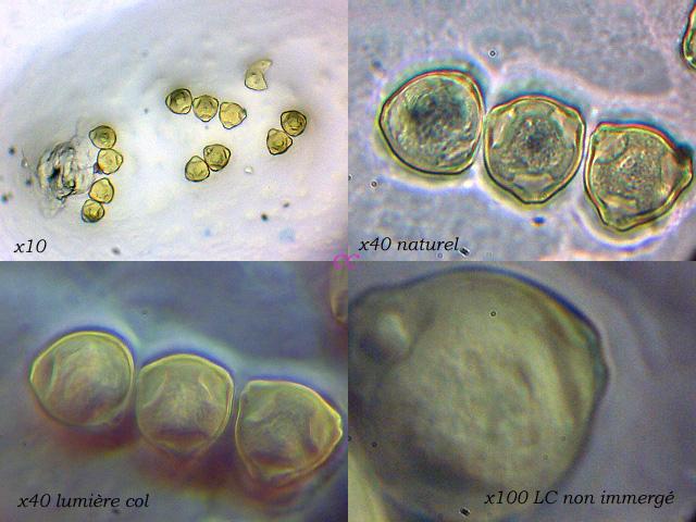 pollenphalaenopsis.jpg