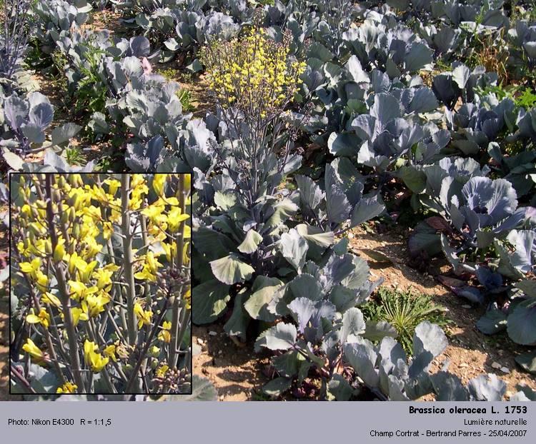 Brassica_oleracea_L_1753.jpg