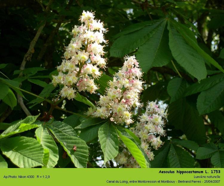 Aesculus_hippocastanum_L_1753.jpg