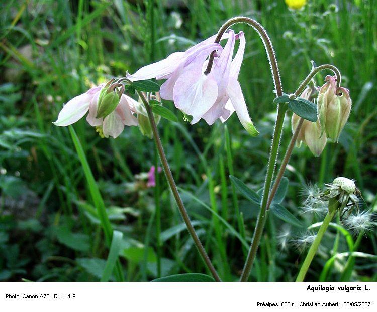 Aquilegia_vulgaris_L1.jpg