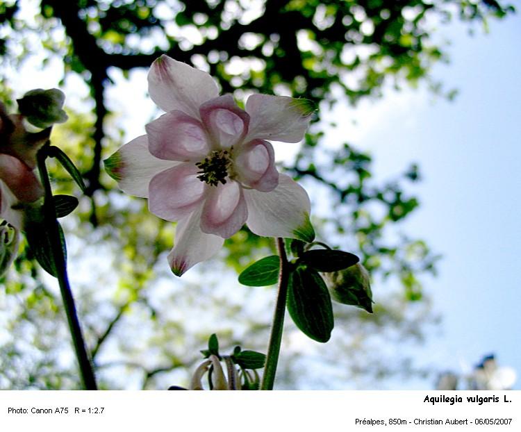 Aquilegia_vulgaris_L.jpg