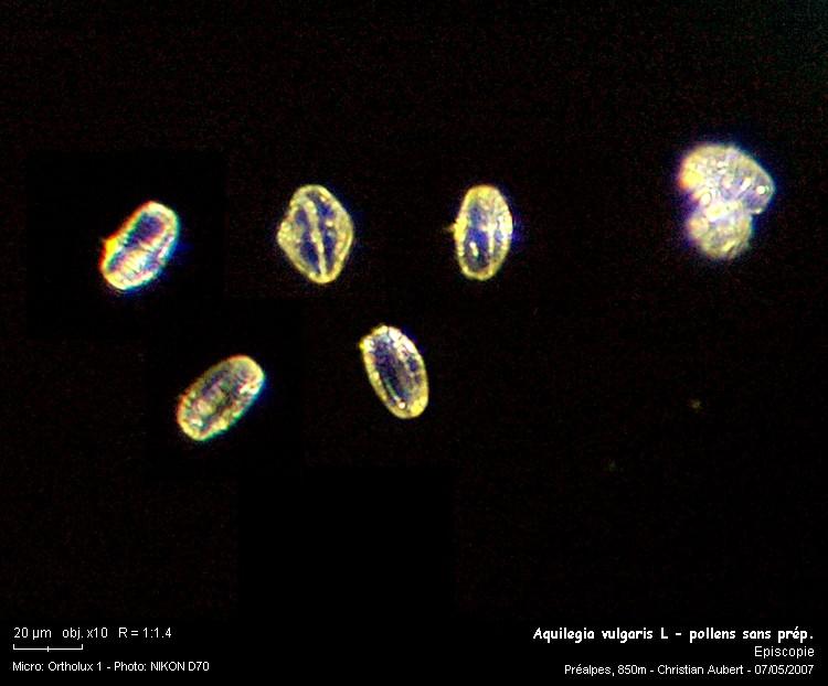 Aquilegia_vulgaris_L___pollens_sans_prep.jpg