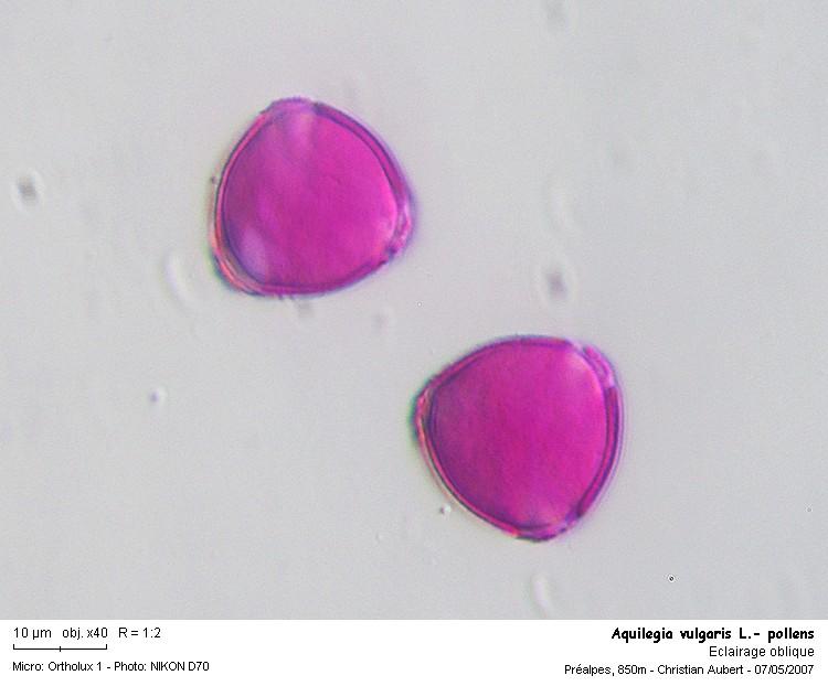 Aquilegia_vulgaris_L__pollens.jpg
