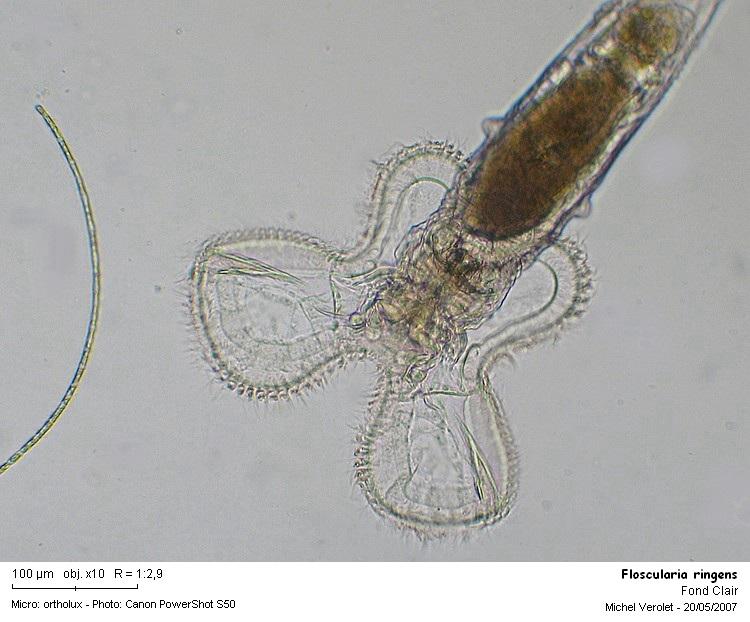Floscularia_ringens.jpg