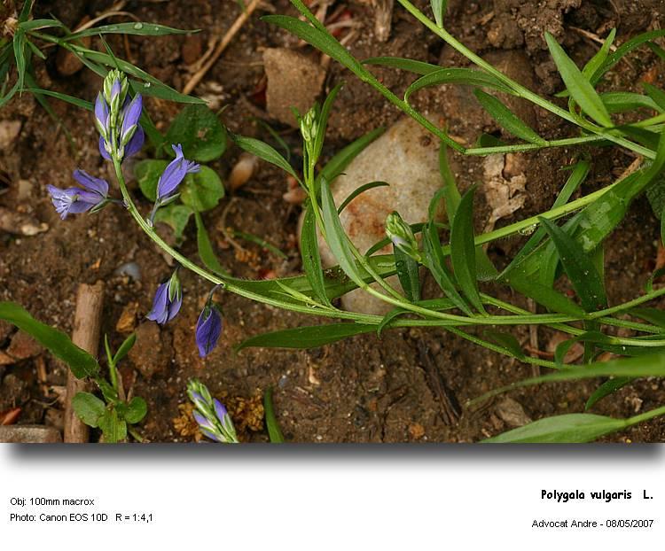 Polygala_vulgaris__L.jpg