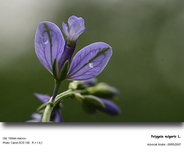 Polygala_vulgaris_2.jpg
