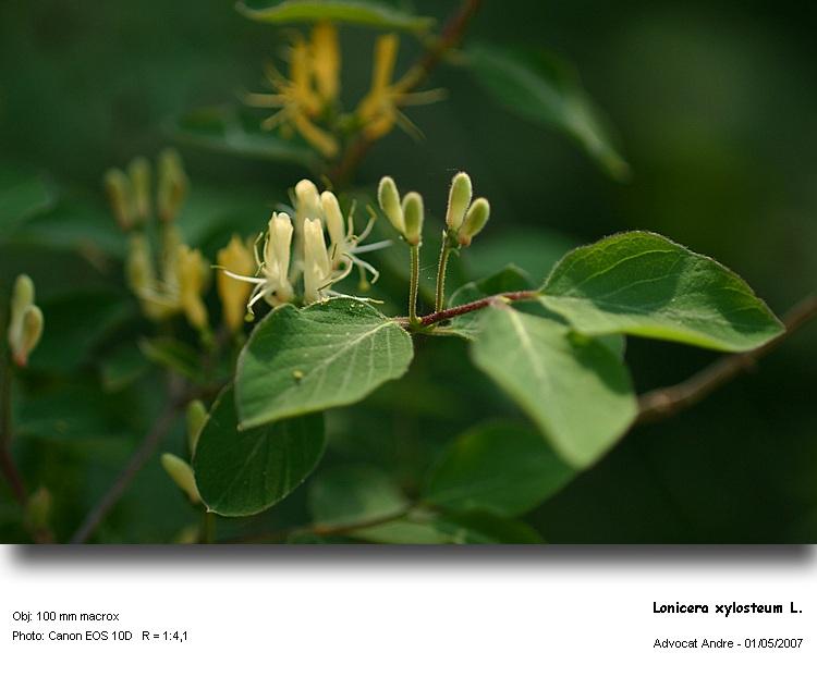 Lonicera_xylosteum1.jpg
