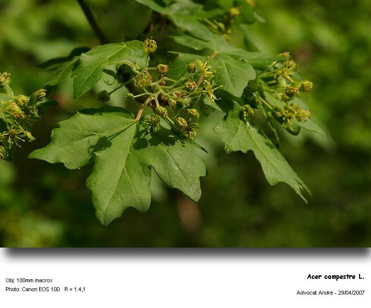 Acer_campestre_1.jpg