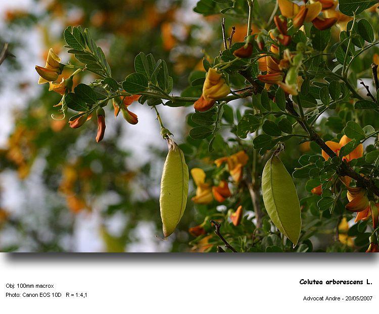 Colutea_arborescens1.jpg