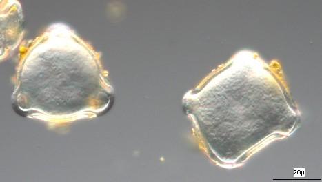 Pollen202_petit.JPG