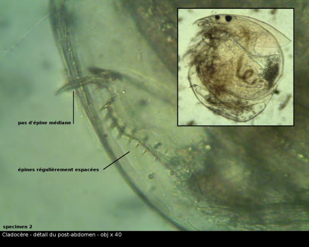vlc-0510-cladocere-00004.jpg