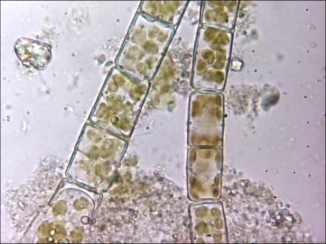 chlorophyle2.jpg