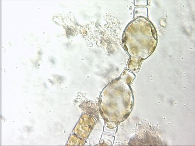 chlorophyle4.jpg