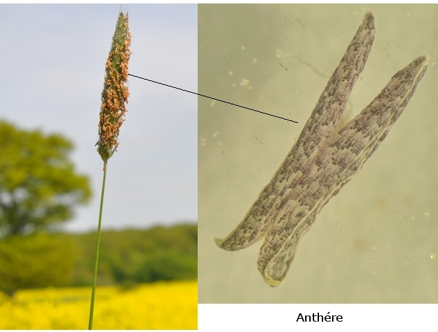 pollen texte 3.jpg