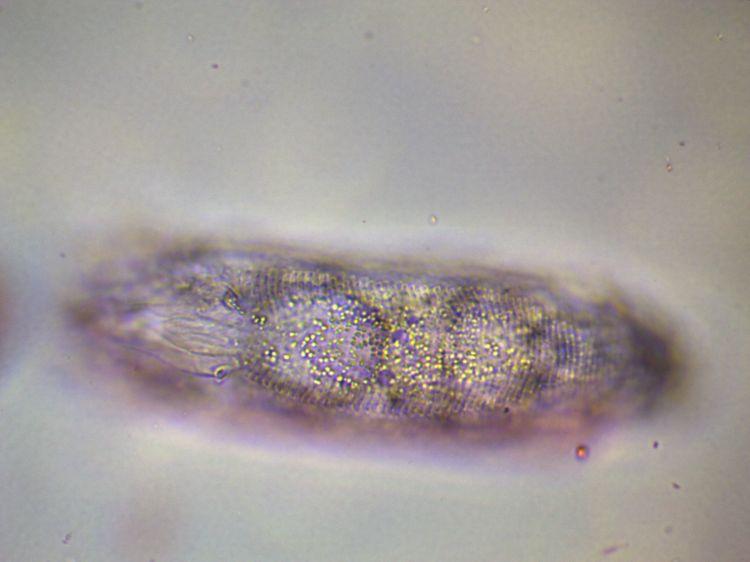 PhytopePoirierDessusObj100.jpg