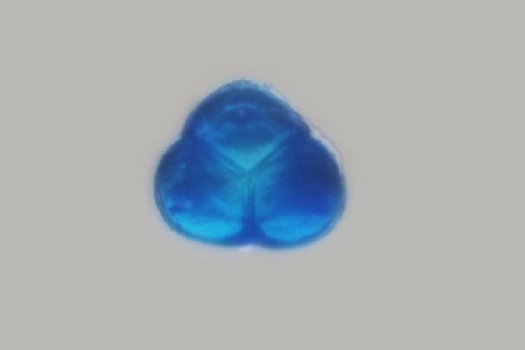 pollen rhodo 4.jpg