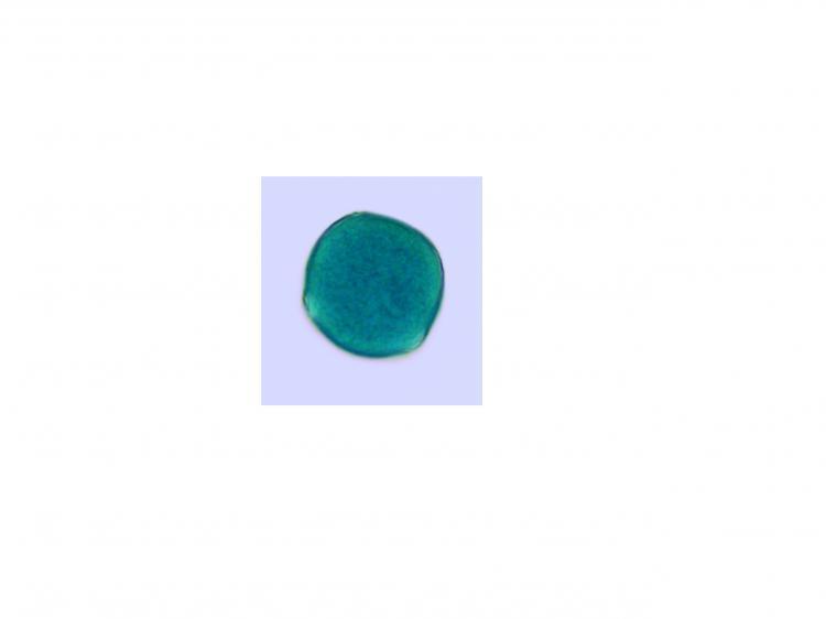 pollenpavot60vm-2.jpg