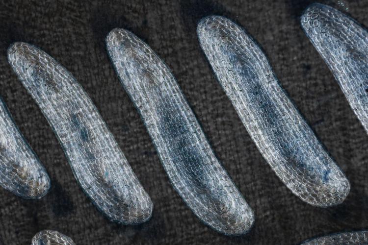 anguille 70_V9.jpg