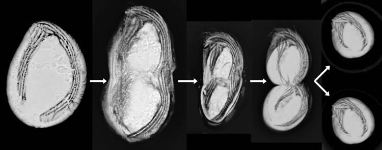 division chirodonella breve fleche.jpg