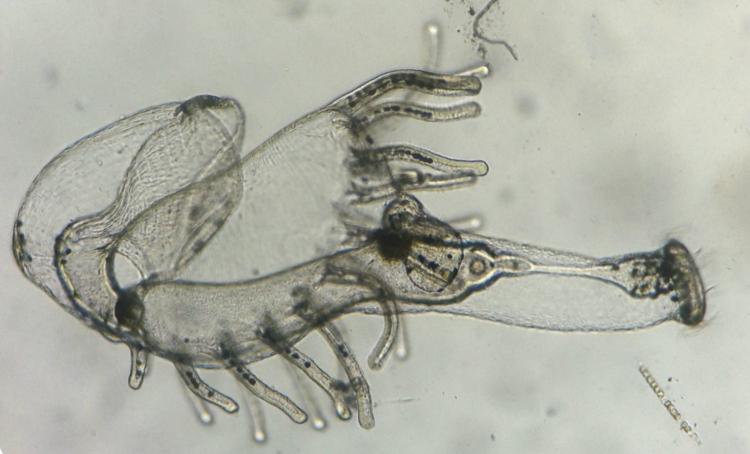 phoronide actinotrocha.jpg