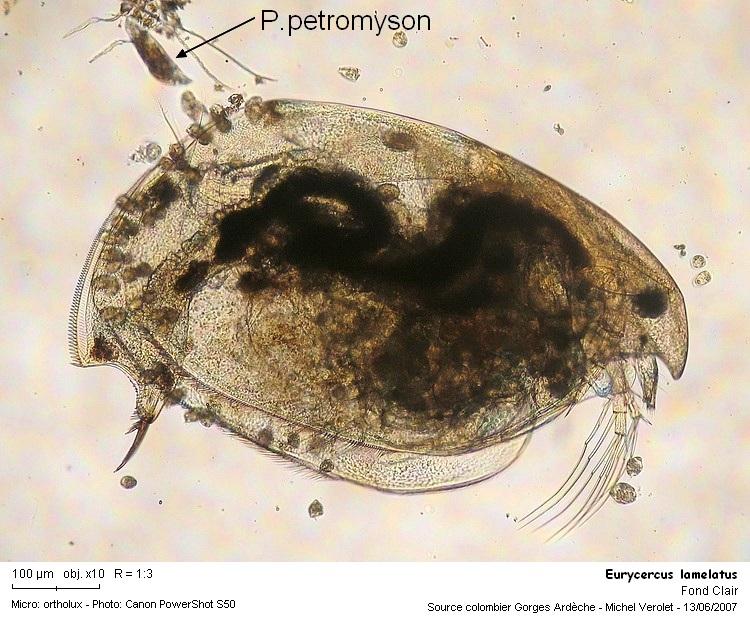 Eurycercus_lamelatus.jpg