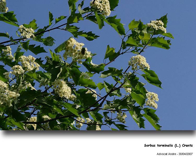 Sorbus_torminalis_L111.jpg