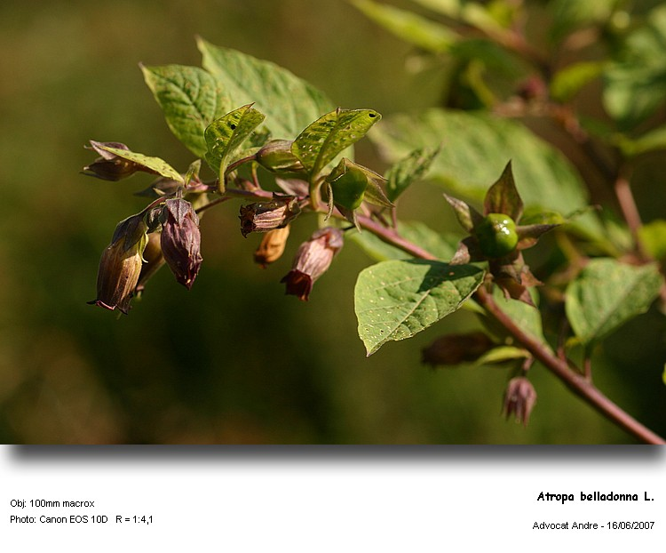 Atropa_belladonna_1.jpg