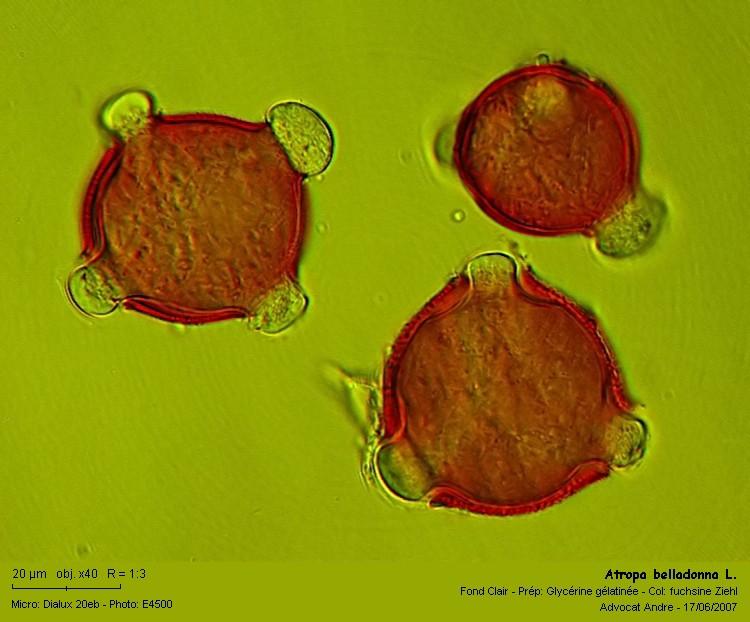 Atropa_belladonna2.jpg