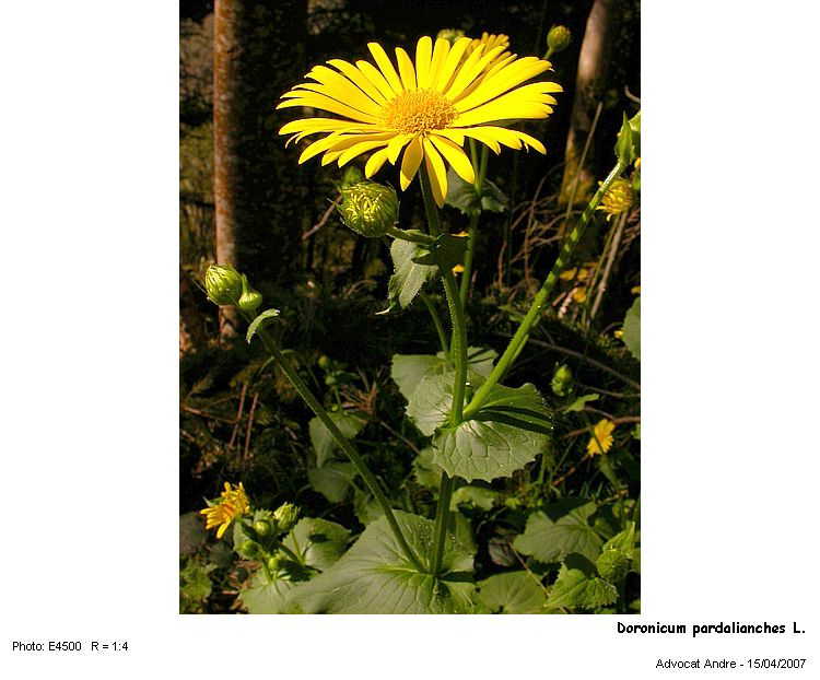Doronicum_pardalianches_L.jpg
