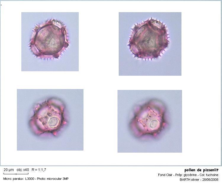 pollen_de_pissenlitF.JPG