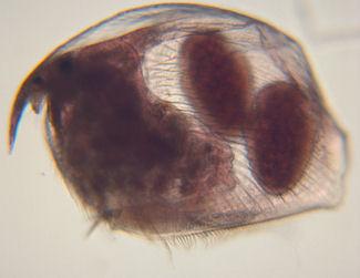 Pleuxorus_dendriculatus.jpg