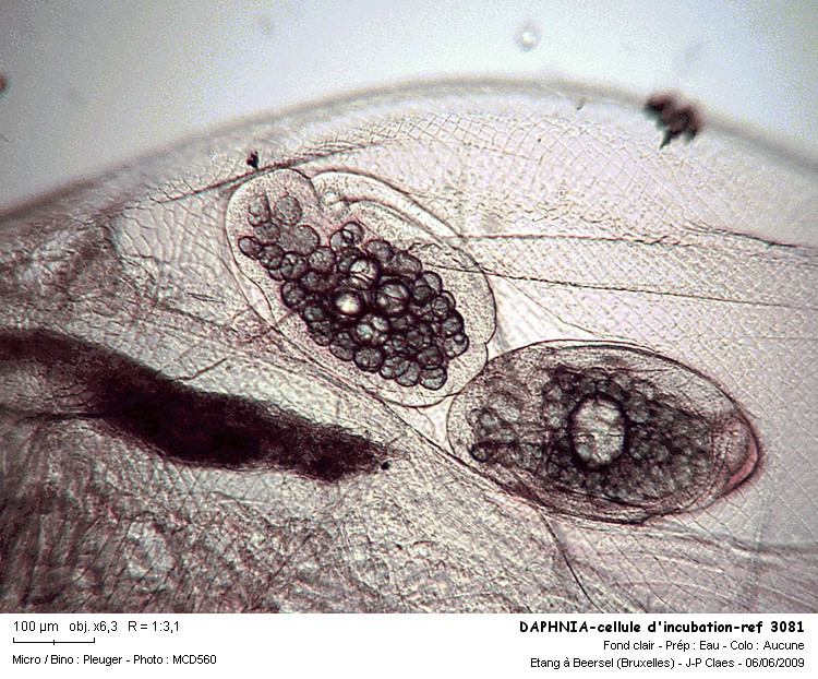 daphnia_cellule_dincubation_ref_3081.jpg