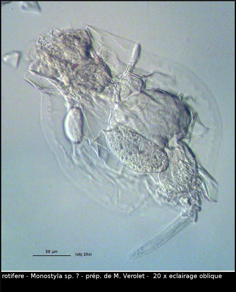 vlc-rotifere-monostyla-0610-00189.jpg