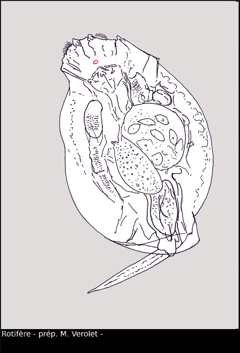 rotifere03.jpg