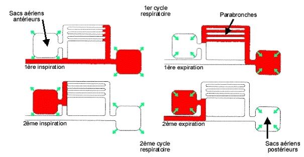 poumon piegeon texte 13.jpg