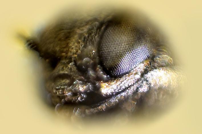 agrilus-buprestidae.jpg