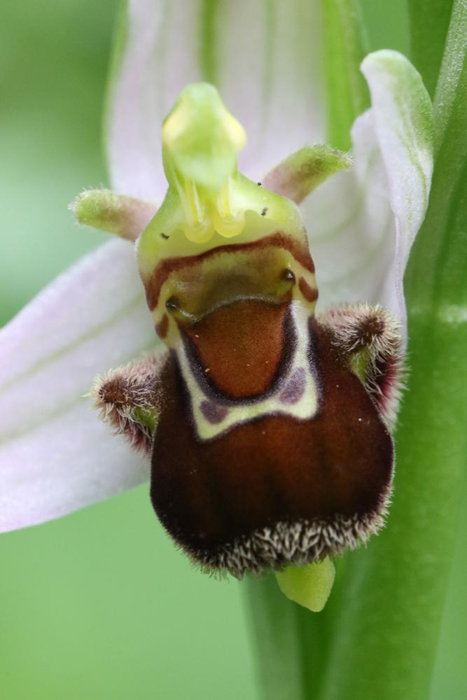 ophrys abeille _V9.jpg