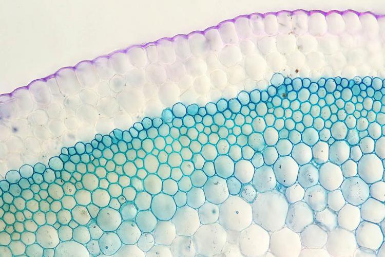 ophrys coupe tige 2_V9.jpg