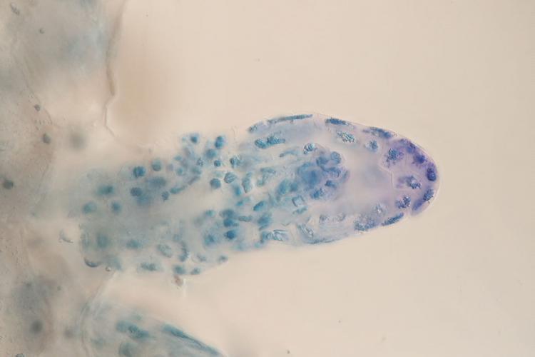 ophrys graine 2_V9.jpg