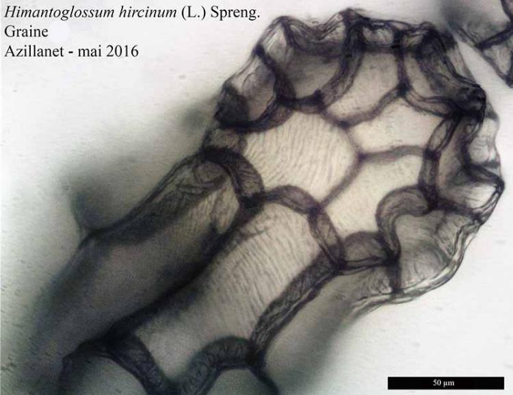 Himantoglossum hircinum-9bGr-Azilanet-05 2016-LG .jpg