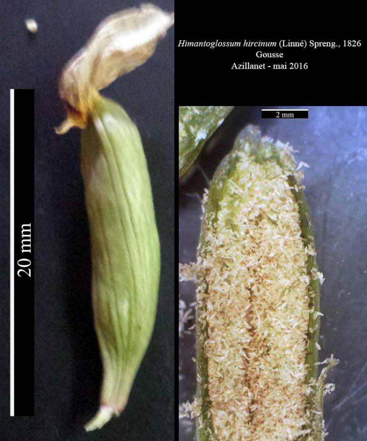 Himantoglossum hircinum-8aGous-Azilanet-05 2016-LG.jpg