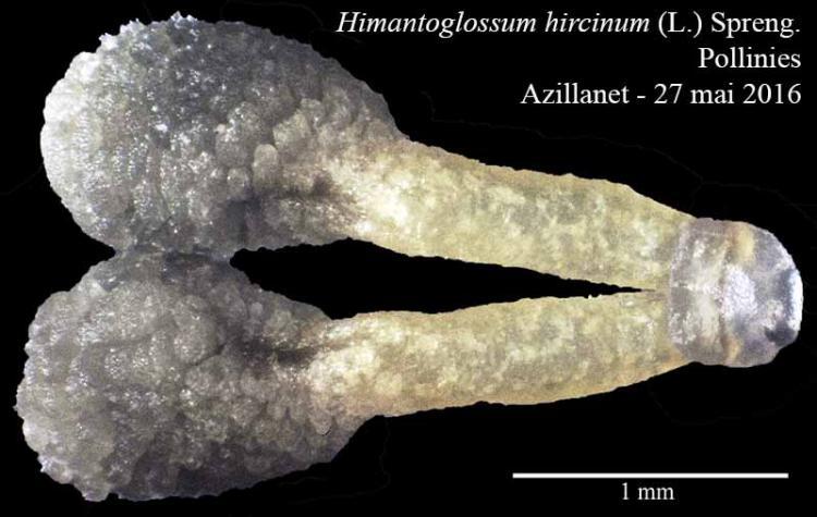 Himantoglossum hircinum-5Polli-Azillanet-05 2016-LG.jpg