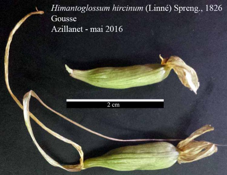 Himantoglossum hircinum-8bGous-Azilanet-05 2016-LG.jpg