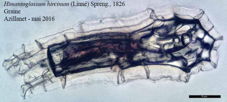 Himantoglossum hircinum-9cGr-Azilanet-05 2016-LG.jpg