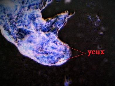 Milnesium Tardigradum4 (1).jpg