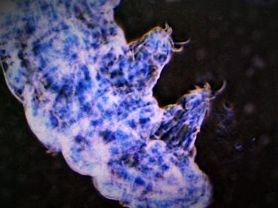 Milnesium Tardigradum3 (1).jpg