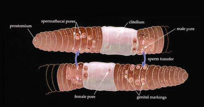 copulation earthworms.JPG