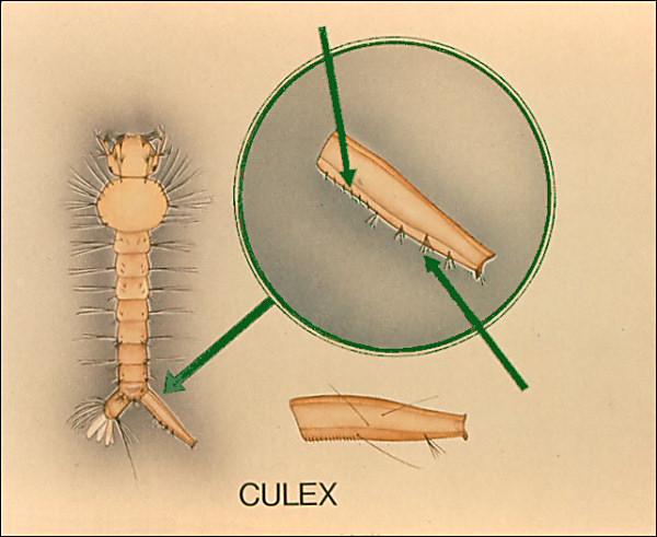 culex pectens.jpg